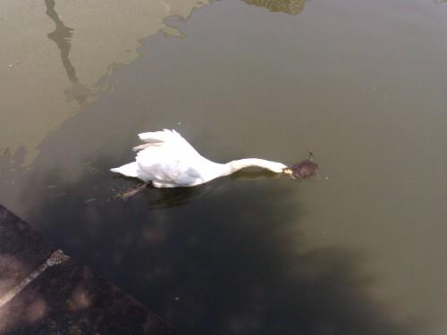 swan-vs-turtle